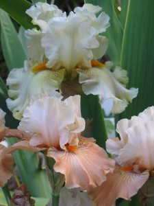 Iris 'Pickledilly' and 'Mandarin Morning'