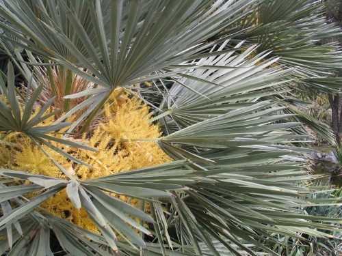 flowering blue palm