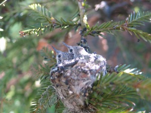 hummingbird babies in redwood at 2028 2012