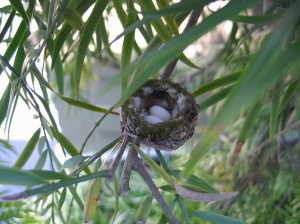 Hummingbird eggs in podocarpus