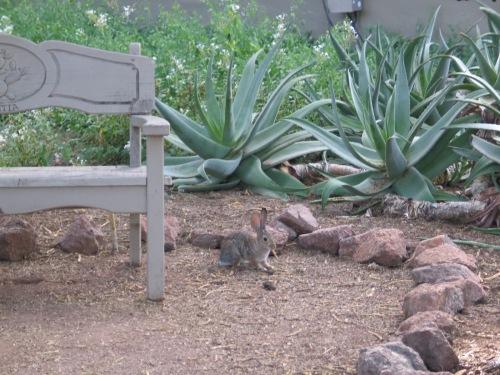 28 Desert Botanical Garden bunny