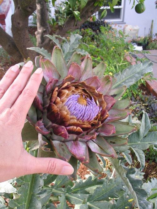 140728 artichoke flowers 1