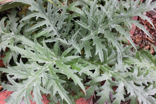 141014 artichoke new foliage 1