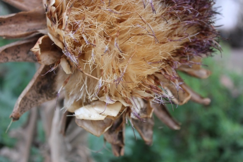 141014 artichoke seed heads close