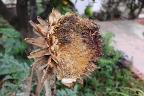141014 artichoke seed heads