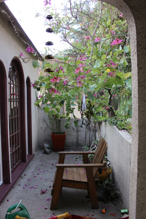 feb 2015 trip Bauhinia at front porch